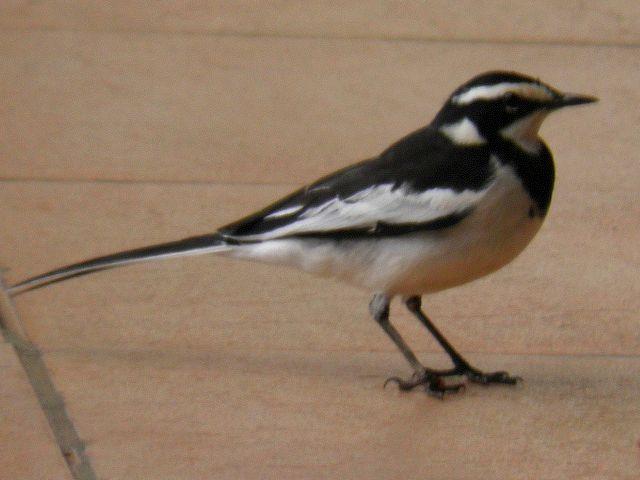 fugl sort og hvid
